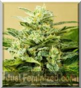 buy advanced cannabis seeds auto-flowering low girl Safe UK